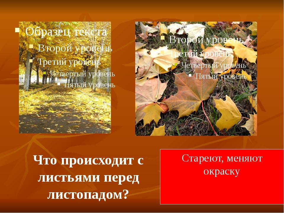 Что происходит с листьями перед листопадом? Стареют, меняют окраску