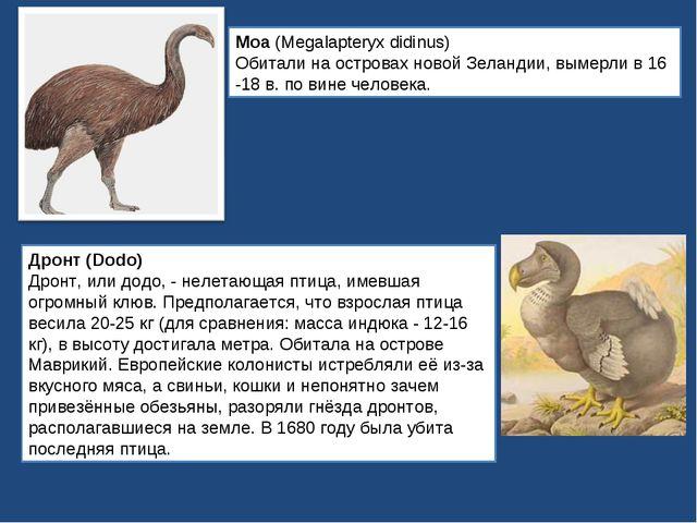 Моа (Megalapteryx didinus) Обитали на островах новой Зеландии, вымерли в 16 -...