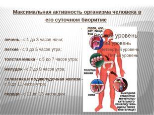 Максимальная активность организма человека в его суточном биоритме печень - с