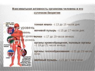 Максимальная активность организма человека в его суточном биоритме тонкая киш