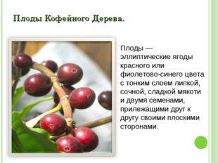 Плоды Кофейного Дерева. Плоды — эллиптические ягоды красного или фиолетово-си