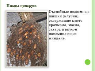 Плоды циперуса. Съедобные подземные шишки (клубни), содержащие много крахмала