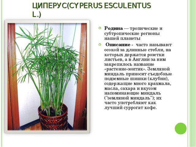 ЦИПЕРУС(CYPERUS ESCULENTUS L.) Родина — тропические и субтропические регионы...
