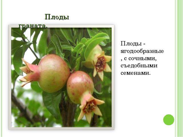 Плоды граната. Плоды - ягодообразные, с сочными, съедобными семенами.