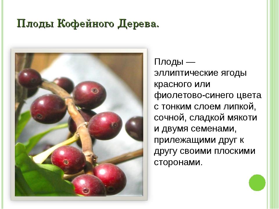 Плоды Кофейного Дерева. Плоды — эллиптические ягоды красного или фиолетово-си...