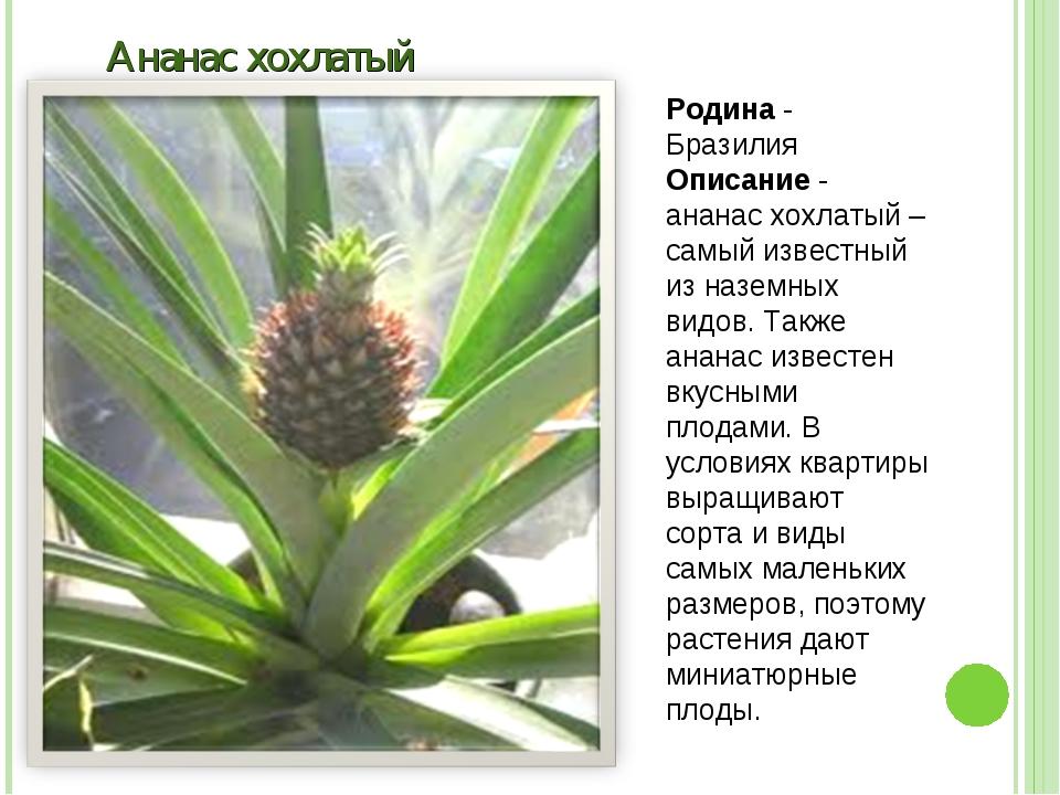 Ананас хохлатый Родина - Бразилия Описание - ананас хохлатый – самый известны...