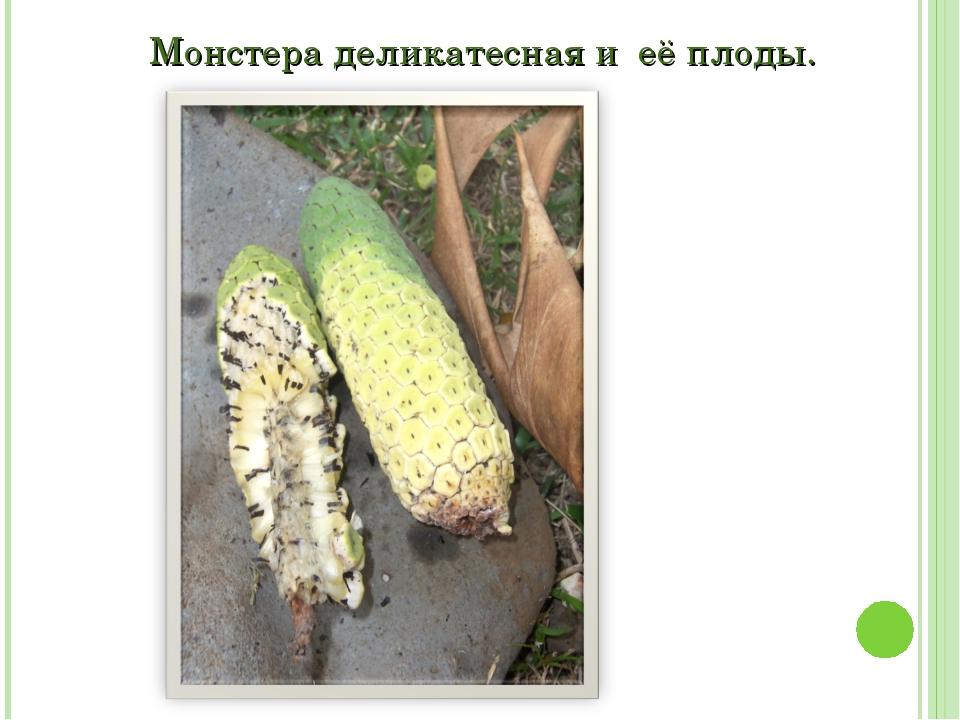 Монстера деликатесная и её плоды.