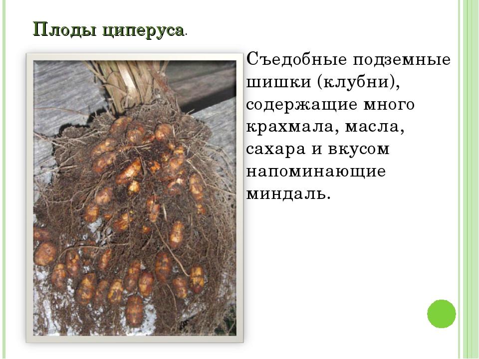 Плоды циперуса. Съедобные подземные шишки (клубни), содержащие много крахмала...