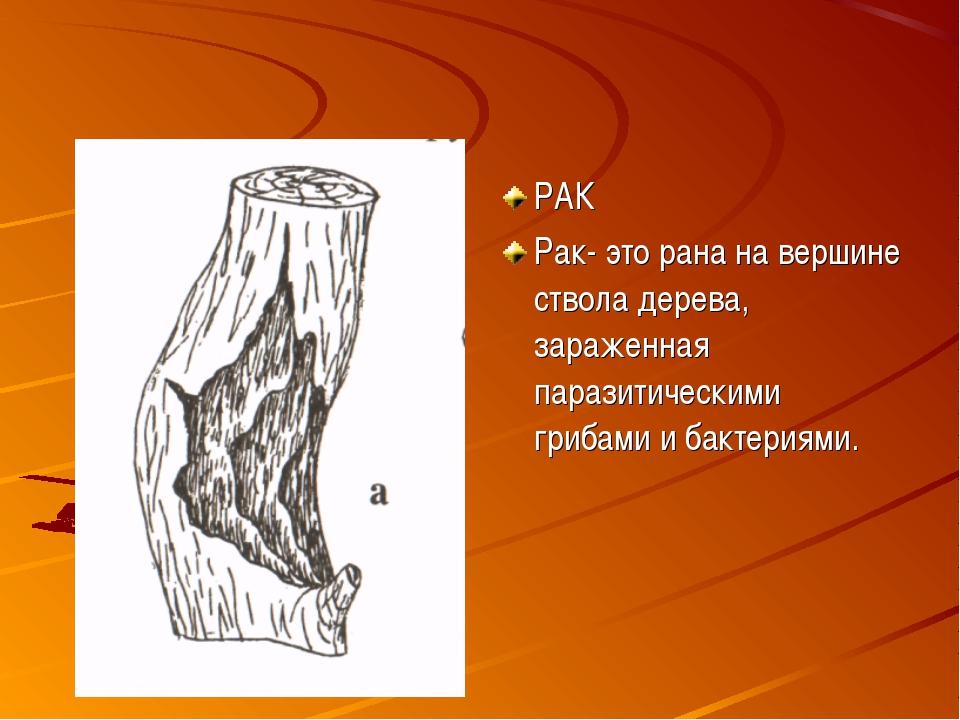 РАК Рак- это рана на вершине ствола дерева, зараженная паразитическими грибам...