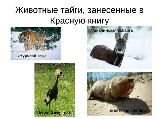 Животные тайги, занесенные в Красную книгу амурский тигр Черный журавль Сахал...