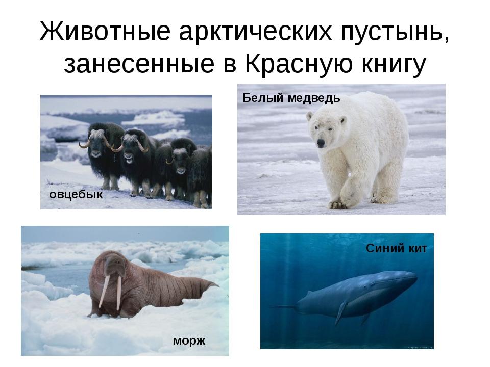 Животные арктических пустынь, занесенные в Красную книгу овцебык морж Белый м...