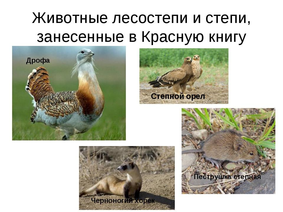 Животные лесостепи и степи, занесенные в Красную книгу Степной орел Дрофа Чер...