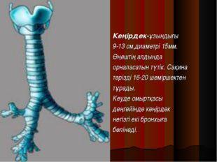 Кеңірдек-ұзындығы 9-13 см,диаметрі 15мм. Өңештің алдында орналасатын түтік. С