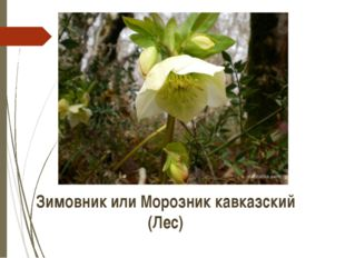 Зимовник или Морозник кавказский (Лес) http://www.nachalka.com/photo/d/839-5/