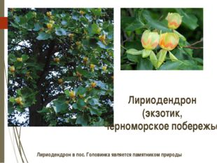 Лириодендрон (экзотик, Черноморское побережье) Лириодендрон в пос. Головинка