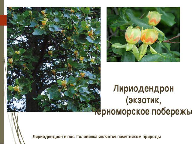 Лириодендрон (экзотик, Черноморское побережье) Лириодендрон в пос. Головинка...
