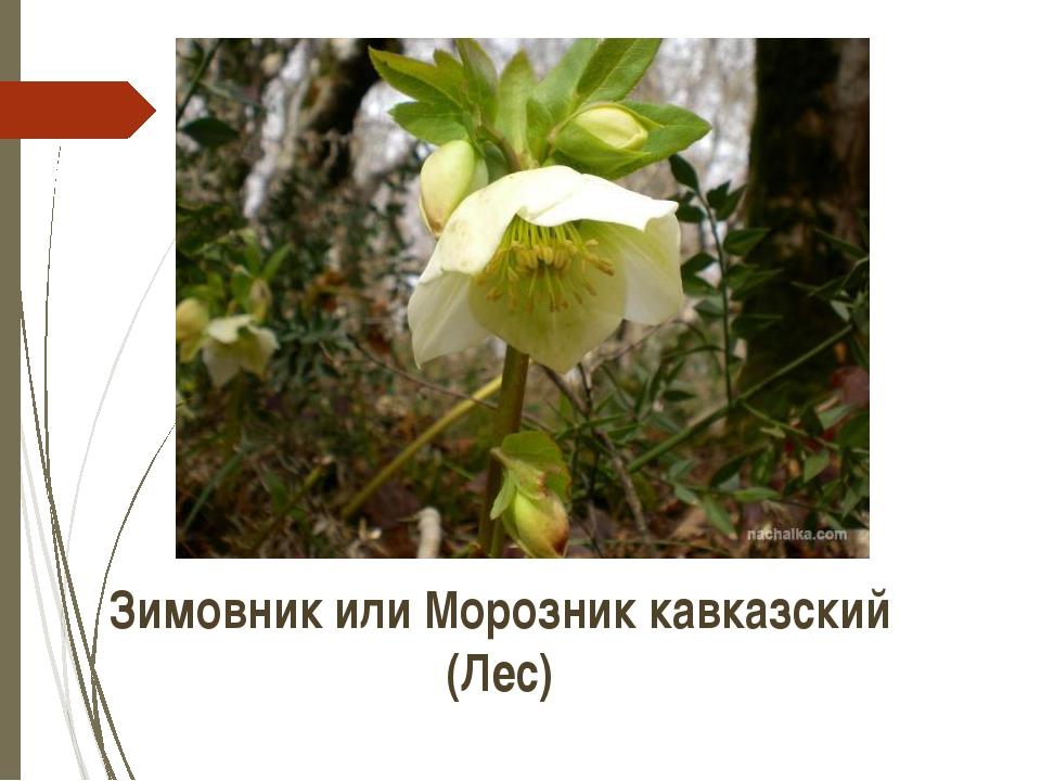 Зимовник или Морозник кавказский (Лес) http://www.nachalka.com/photo/d/839-5/...