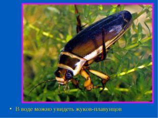 В воде можно увидеть жуков-плавунцов