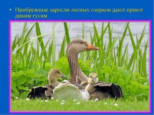 Прибрежные заросли лесных озерков дают приют диким гусям