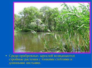 Среди прибрежных зарослей возвышаются стройные растения с тонкими стеблями и