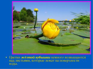 Цветки жёлтой кубышки немного возвышаются над листьями, которые лежат на пове