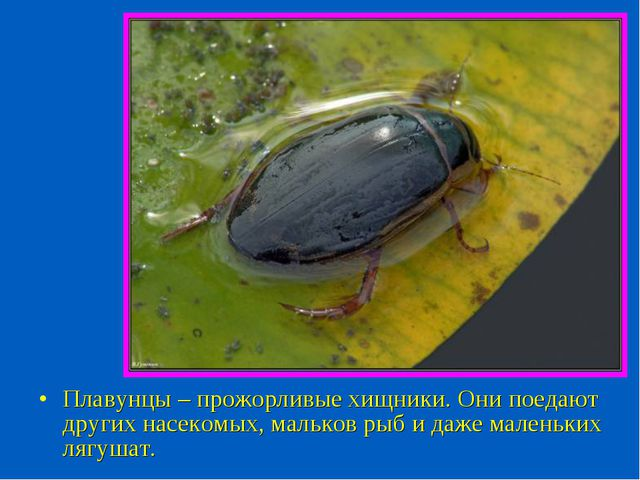 Плавунцы – прожорливые хищники. Они поедают других насекомых, мальков рыб и д...