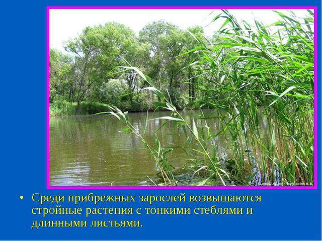 Среди прибрежных зарослей возвышаются стройные растения с тонкими стеблями и...