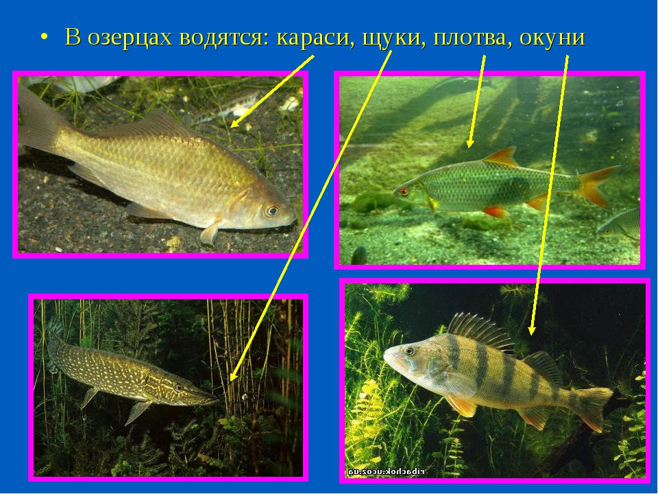 В озерцах водятся: караси, щуки, плотва, окуни