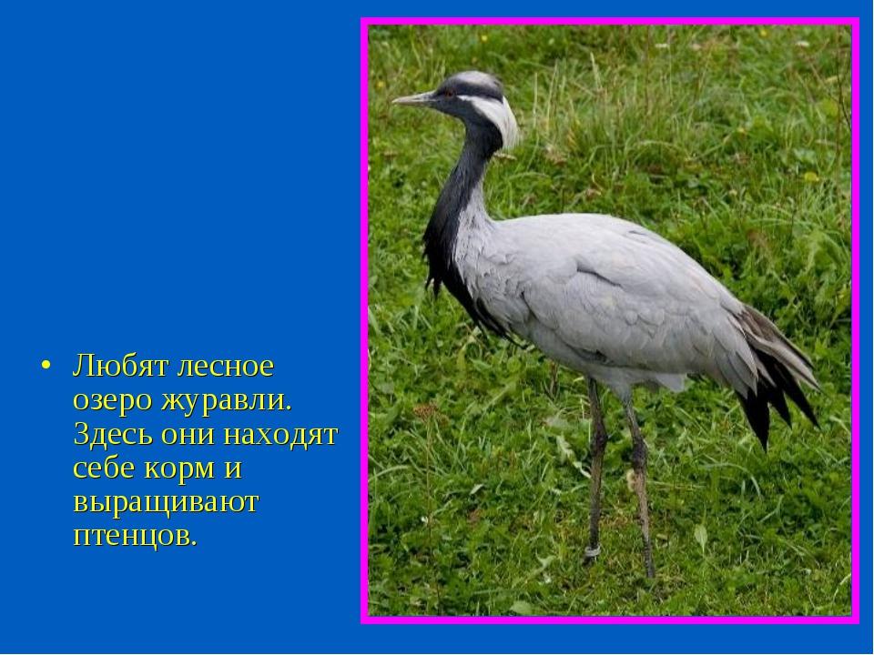 Любят лесное озеро журавли. Здесь они находят себе корм и выращивают птенцов.