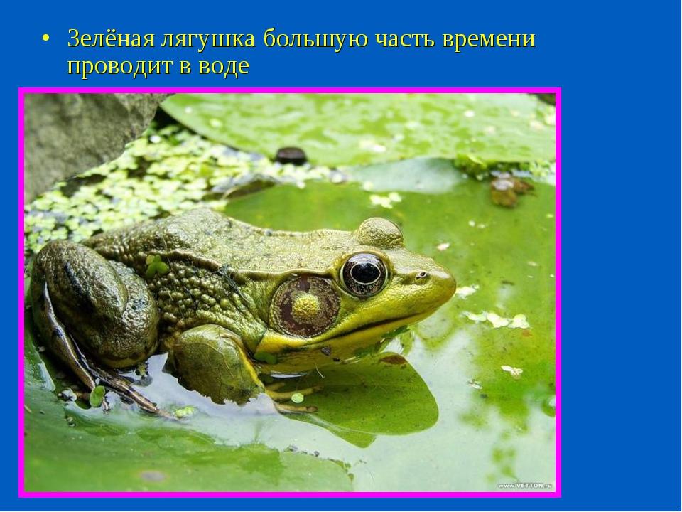 Зелёная лягушка большую часть времени проводит в воде