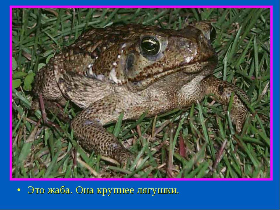 Это жаба. Она крупнее лягушки.