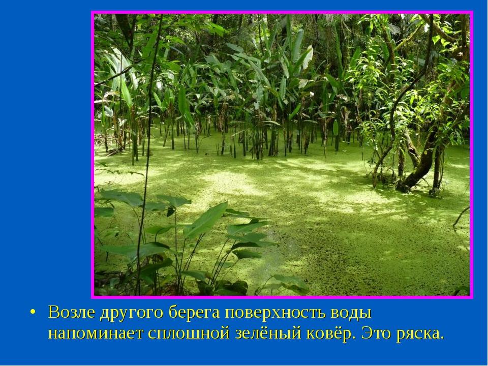 Возле другого берега поверхность воды напоминает сплошной зелёный ковёр. Это...