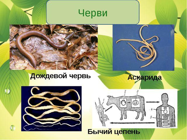 Черви Дождевой червь Аскарида Бычий цепень