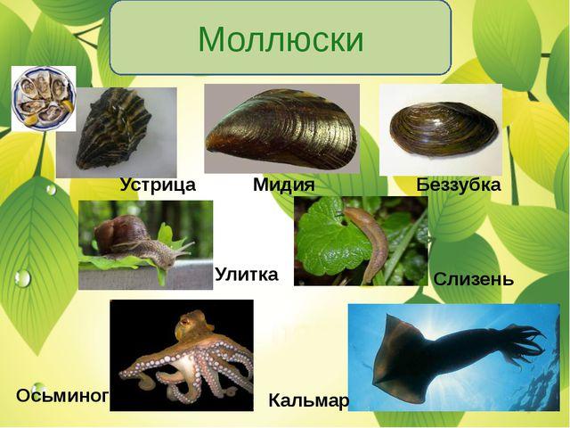 Моллюски Устрица Мидия Беззубка Улитка Слизень Осьминог Кальмар