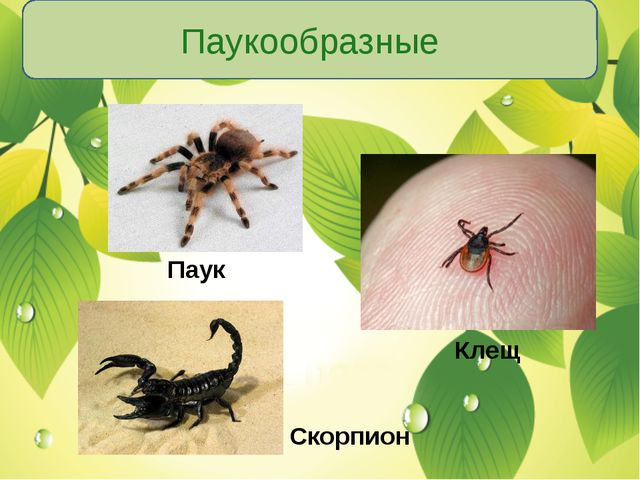 Паукообразные Паук Клещ Скорпион