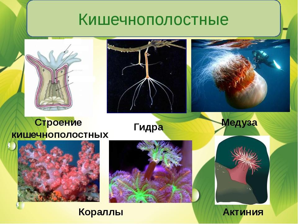 Кишечнополостные Строение кишечнополостных Гидра Медуза Кораллы Актиния