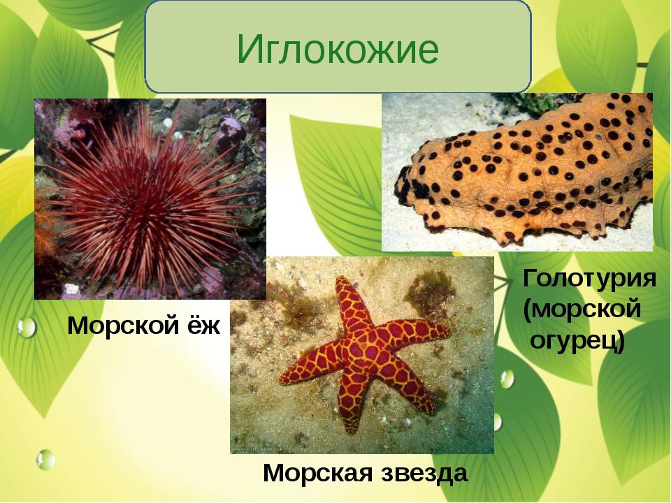 Иглокожие Морской ёж Морская звезда Голотурия (морской огурец)