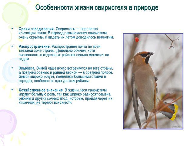 Особенности жизни свиристеля в природе Сроки гнездования. Свиристель — переле...