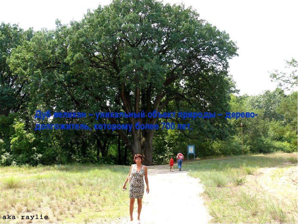 Дуб великан – уникальный объект природы – дерево-долгожитель, которому более...