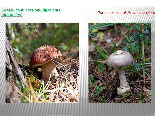 Поплавок серый (Amanita vaginata) Белый гриб сосновый (Boletus pinophilus)