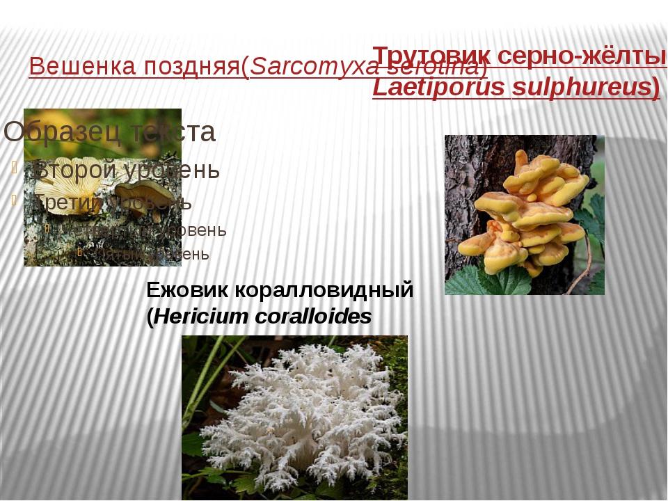 Вешенка поздняя (Sarcomyxa serotina) Трутовик серно-жёлтый (Laetiporus sulphu...