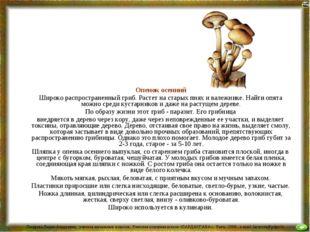 Опенок осенний Широко распространенный гриб. Растет на старых пнях и валежни