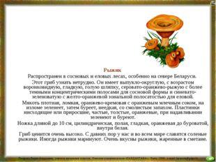Рыжик Распространен в сосновых и еловых лесах, особенно на севере Беларуси.
