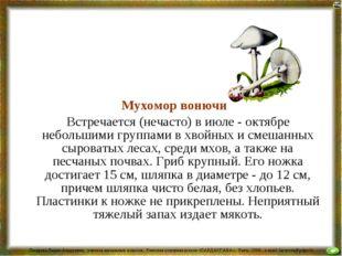 Мухомор вонючий Встречается (нечасто) в июле - октябре небольшими группами в