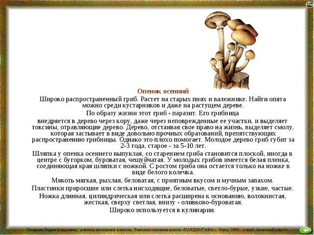 Опенок осенний Широко распространенный гриб. Растет на старых пнях и валежни...