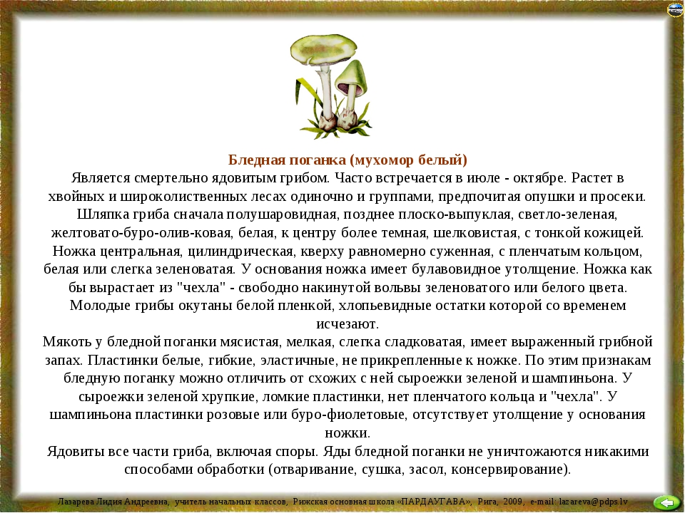 Бледная поганка (мухомор белый) Является смертельно ядовитым грибом. Часто вс...