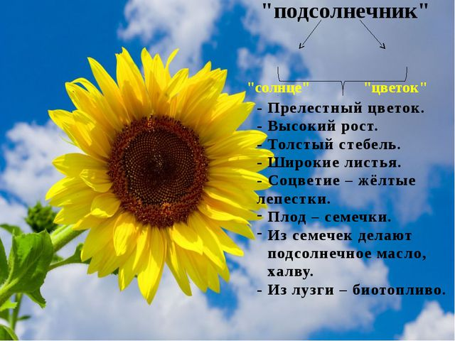 """""""подсолнечник"""" """"солнце"""" """"цветок"""" - Прелестный цветок. - Высокий рост. - Толс..."""