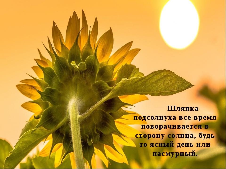 Шляпка подсолнуха все время поворачивается в сторону солнца, будь то ясный д...