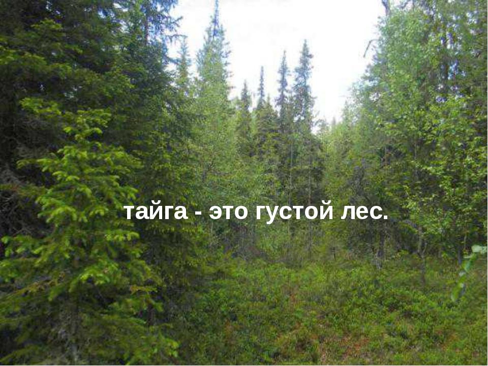 тайга - это густой лес.