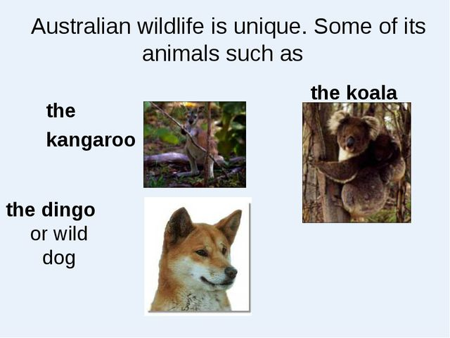 Australian wildlife is unique. Some of its animals such as the kangaroo the k...